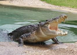 krokodilos fragma potamwn