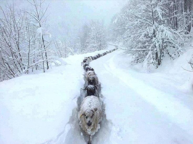 Marika-Nygard-Sheep-in-snow