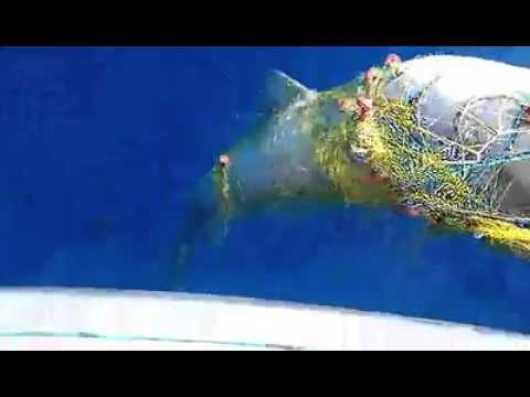 Για αστακούς πήγαινε… καρχαρία έπιασε ο Χανιώτης ψαράς στα δίχτυα του – Δείτε το βίντεο