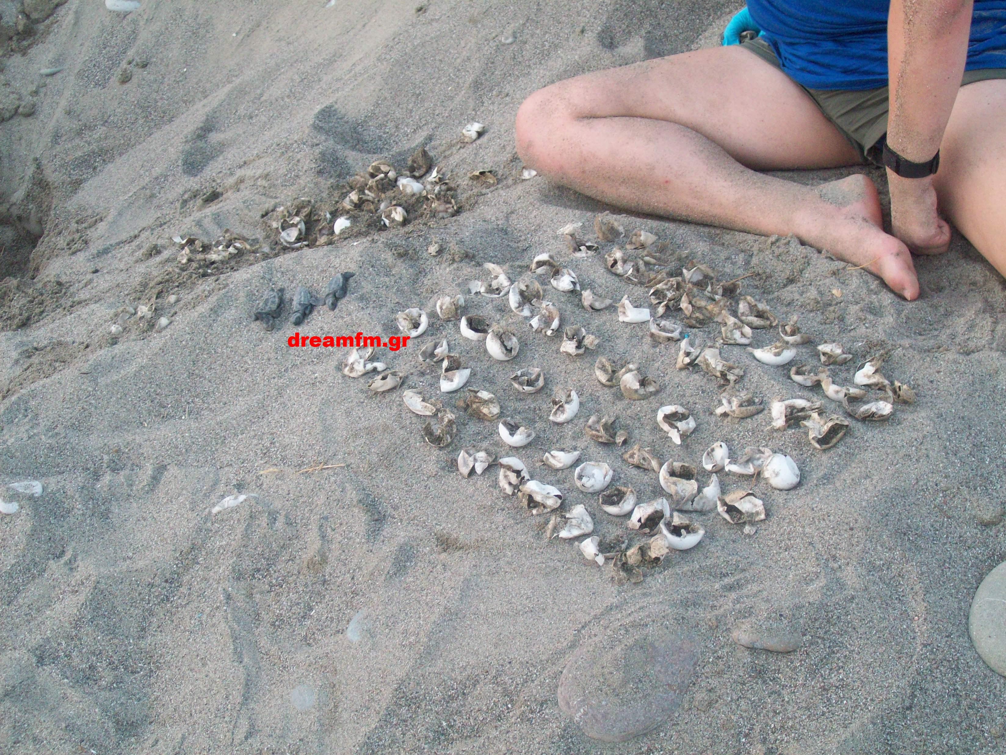 Πάρα πολλά αυγά άρα και χελωνάκια που κατάφεραν να μπούν στη θάλασσα χωρίς την ανθρώπινη βοήθεια