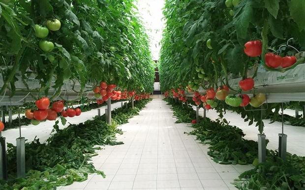 tomates ispanias
