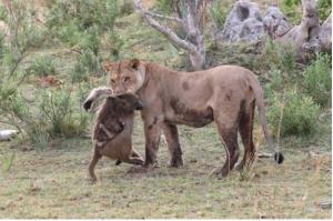 liontari-babouinos
