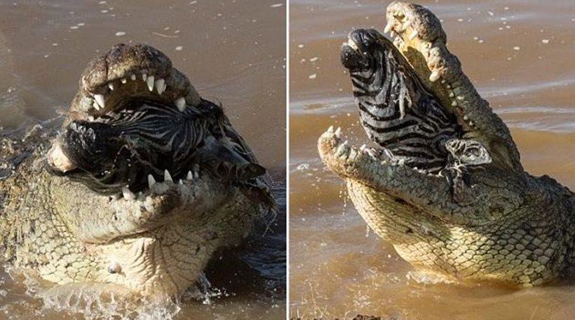 krokodilos zemra