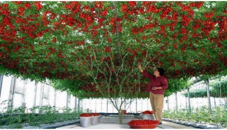 tomatia gigas