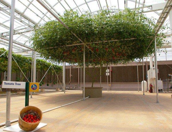 tomatia gigas1